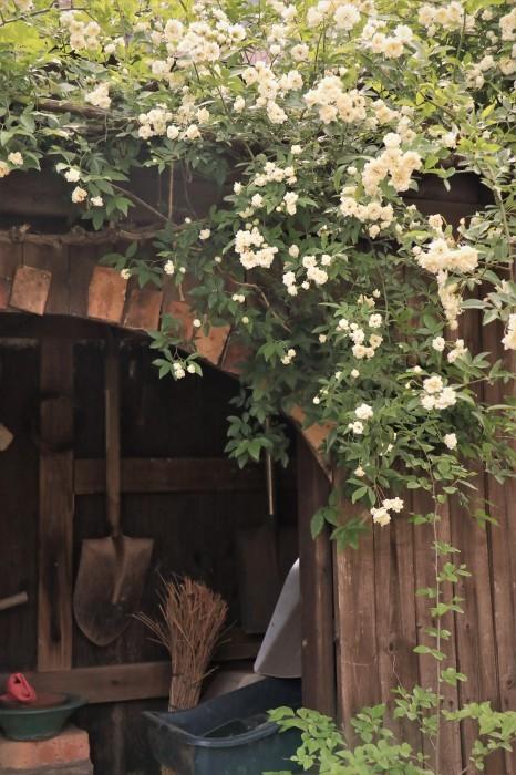 イングリッシュガーデンの花々_d0150720_17431110.jpg