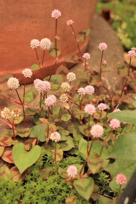 イングリッシュガーデンの花々_d0150720_17435616.jpg