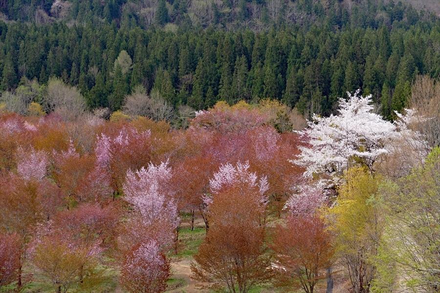 福島県耶麻郡北塩原村「桜 峠 」_d0106628_13371949.jpg