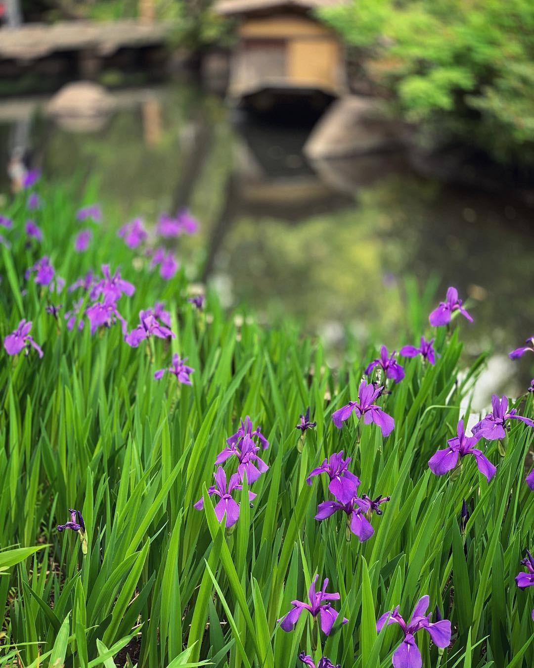 燕子花満開 根津美術館庭園にて_e0243332_17410029.jpg
