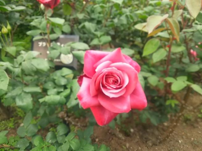 薔薇が咲いた_c0076939_22405017.jpg