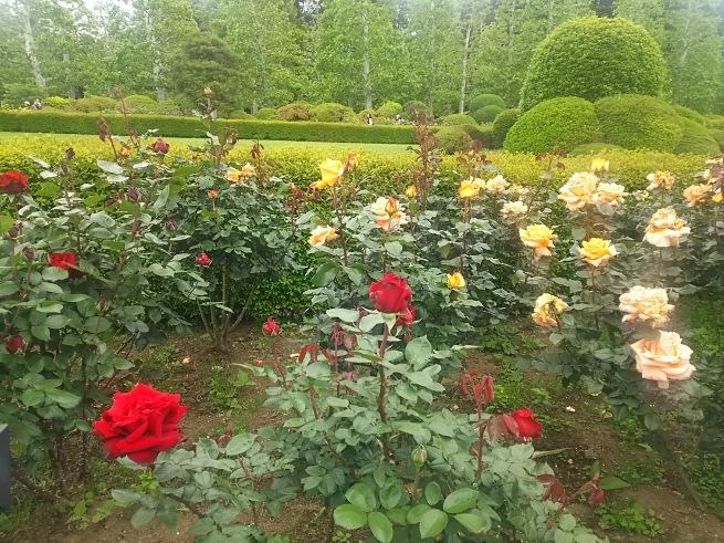 薔薇が咲いた_c0076939_22424989.jpg