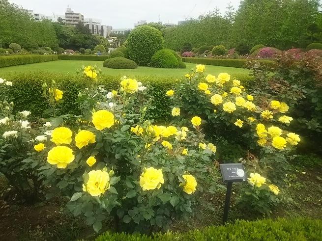 薔薇が咲いた_c0076939_22440070.jpg