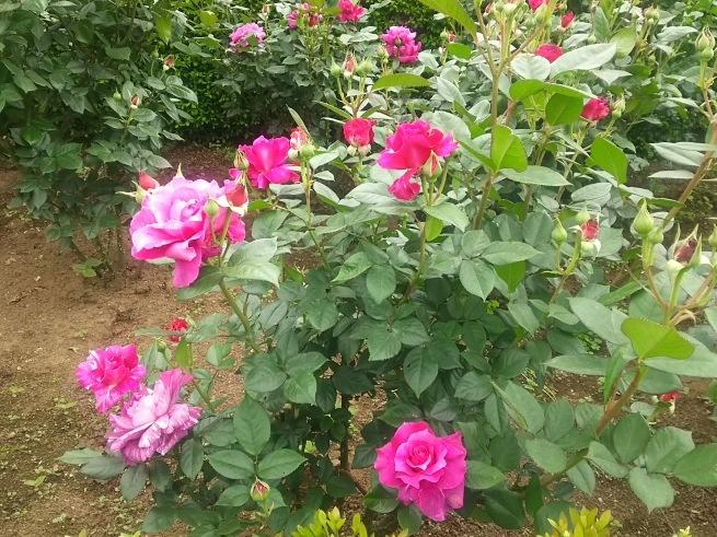 薔薇が咲いた_c0076939_22445416.jpg
