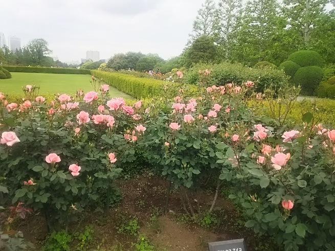 薔薇が咲いた_c0076939_22472546.jpg