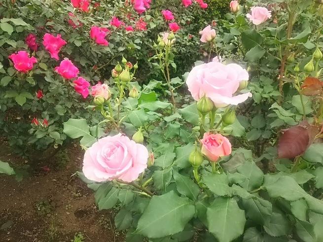 薔薇が咲いた_c0076939_22491418.jpg