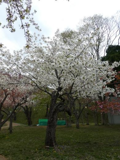 函館公園ニュース  5月6日(月)_e0145841_11540361.jpg