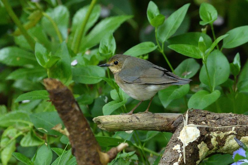 コルリ(Siberian blue robin)/2019.05_b0148352_17401759.jpg