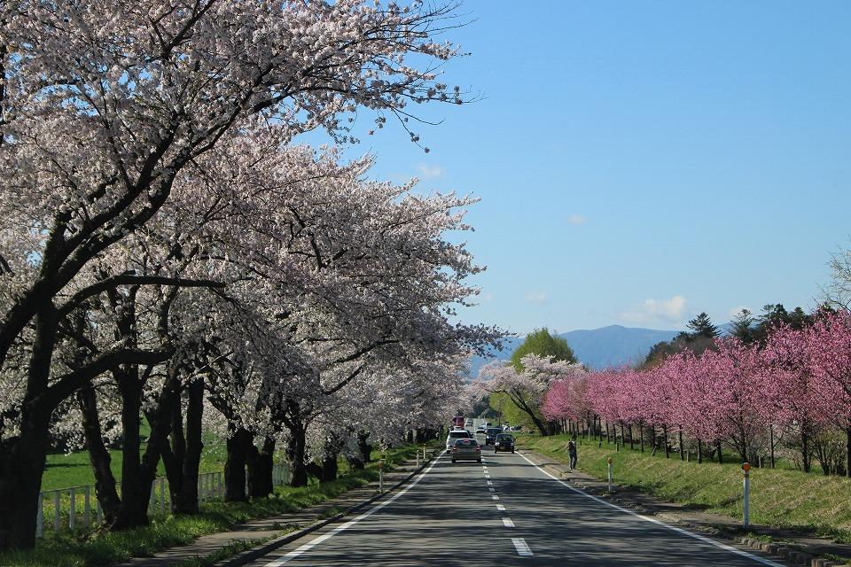 今年の一本桜_c0335355_16415330.jpg