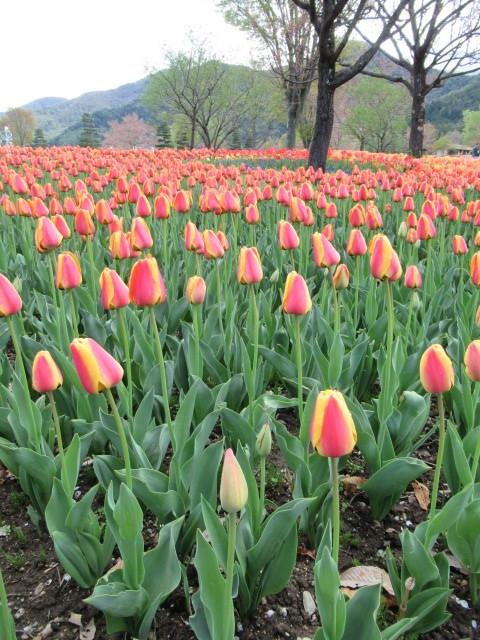③GW・信州花フェスタ2019 * まだまだ続くチューリップ畑♪_f0236260_15015945.jpg