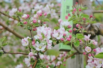 「りんご花まつり2019」開幕!_d0131668_16181596.jpg