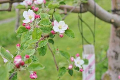 「りんご花まつり2019」開幕!_d0131668_16183222.jpg