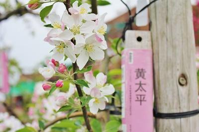 「りんご花まつり2019」開幕!_d0131668_16185346.jpg