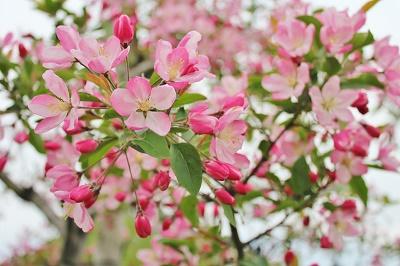 「りんご花まつり2019」開幕!_d0131668_1635587.jpg
