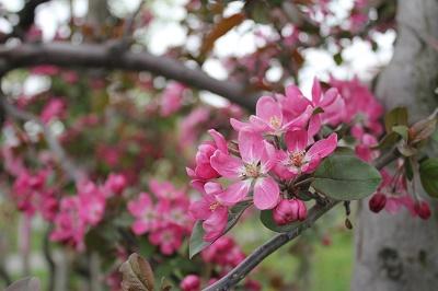 「りんご花まつり2019」開幕!_d0131668_16362354.jpg