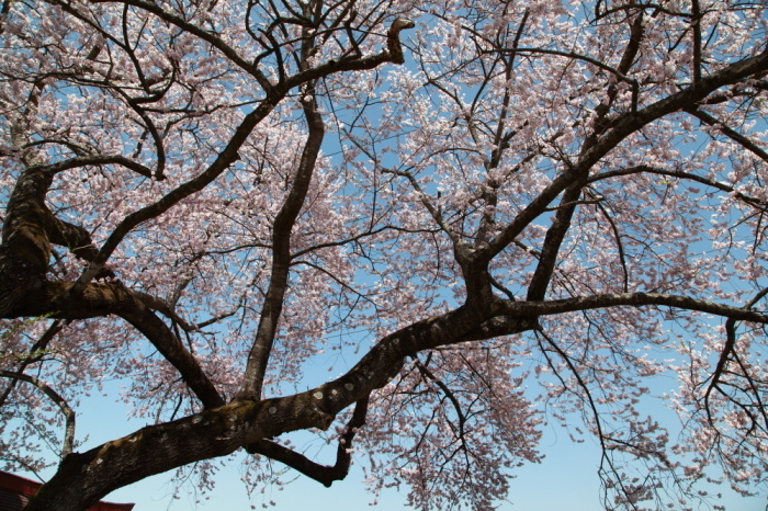水上町 一宮地蔵尊の一本桜_e0165983_10422601.jpg