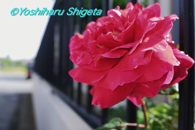 〜La Vie en Rose〜_c0152400_06083232.jpg