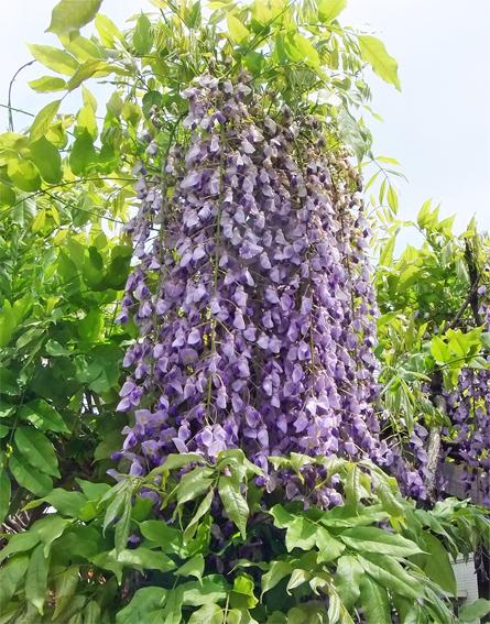 植栽のリニューアルと春の野草_f0045132_09183027.jpg