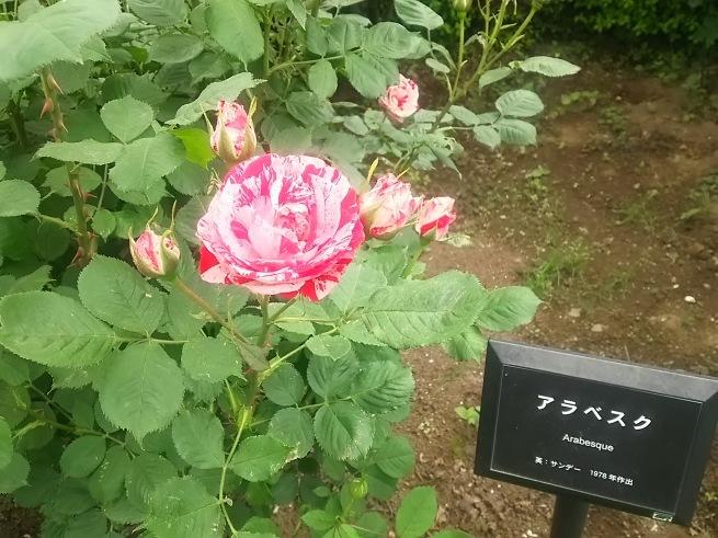 新宿御苑のバラ_c0076939_22440376.jpg