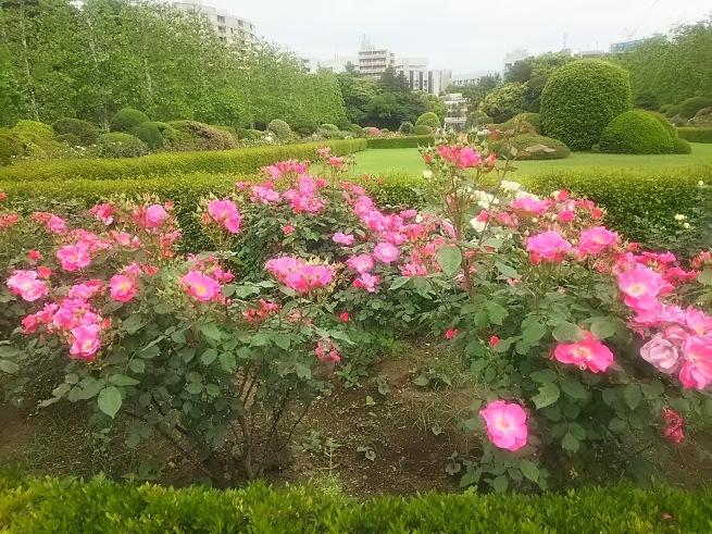 新宿御苑のバラ_c0076939_22493578.jpg