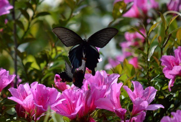 黒系アゲハ達 5月5日_d0254540_18562520.jpg