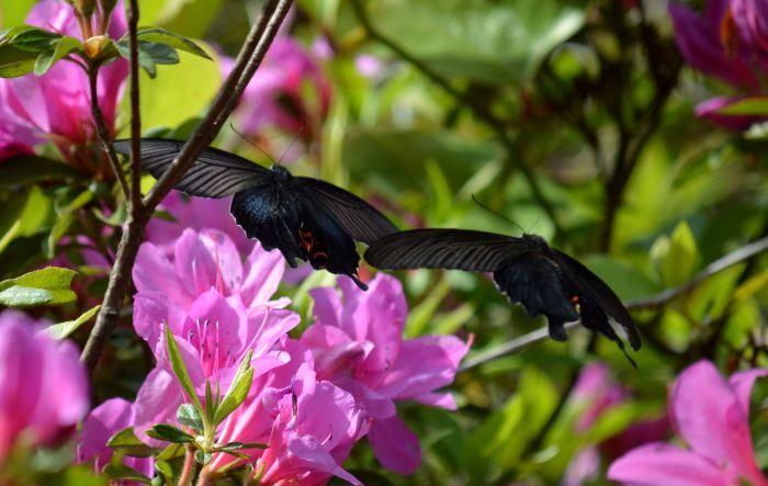 黒系アゲハ達 5月5日_d0254540_18574609.jpg