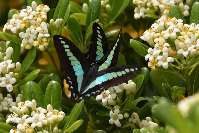 奇跡の写真・・・アオスジアゲハ・・・偶然に撮影出来た_e0194952_21525028.jpg