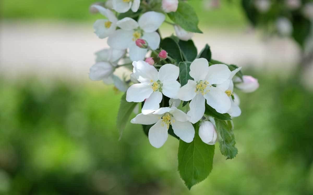 林檎の花も咲きました_e0220159_17405416.jpg
