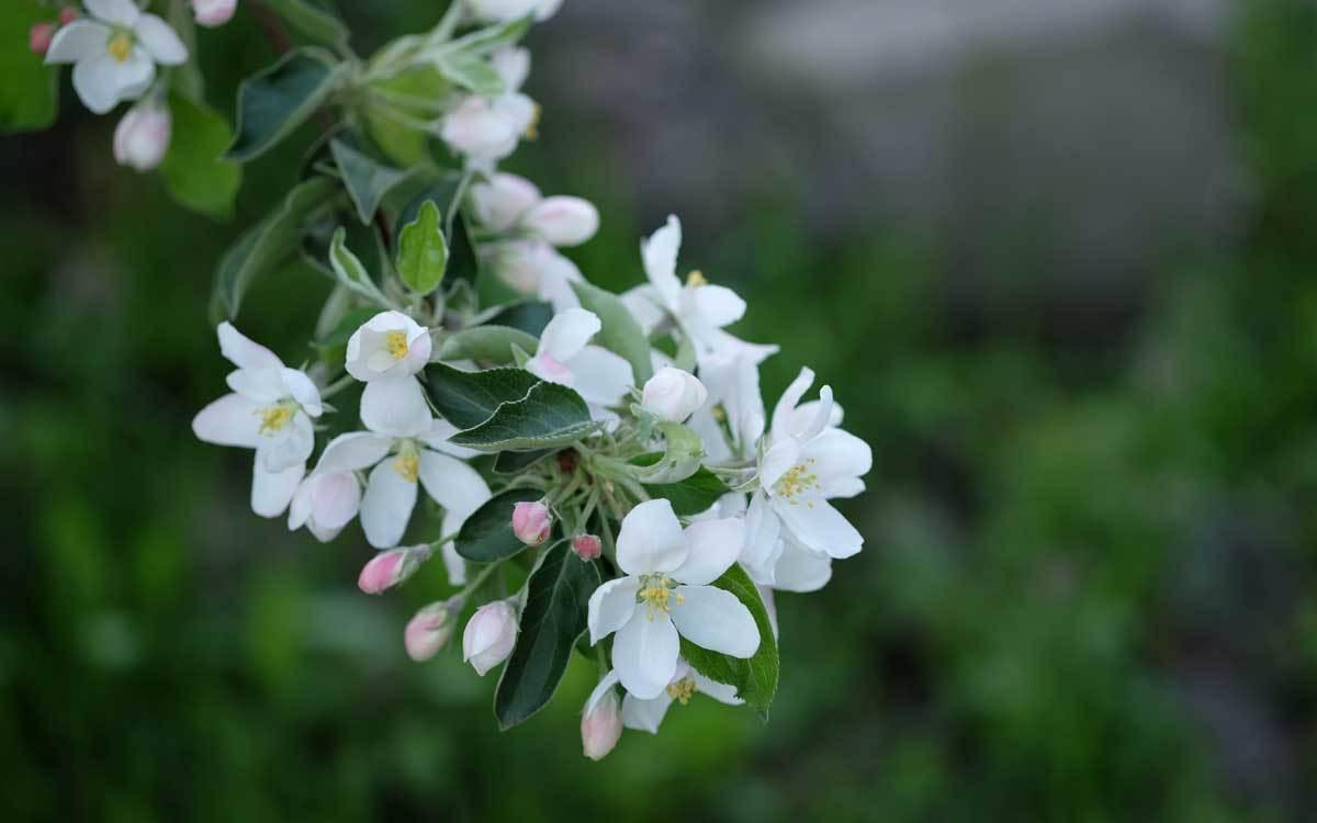 林檎の花も咲きました_e0220159_17410928.jpg