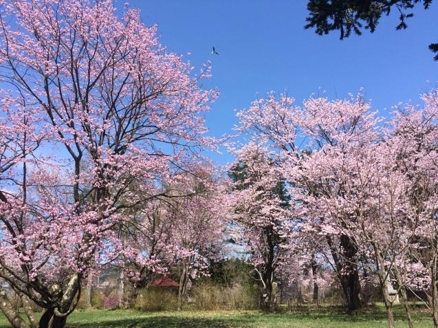 桜 独り占め_f0101174_09572456.jpg
