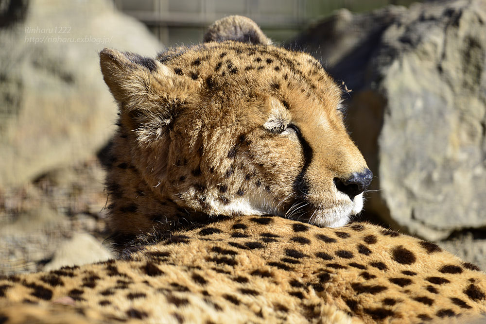 2016.12.30 群馬サファリパーク☆チーター男子部【Cheetah】_f0250322_19374589.jpg