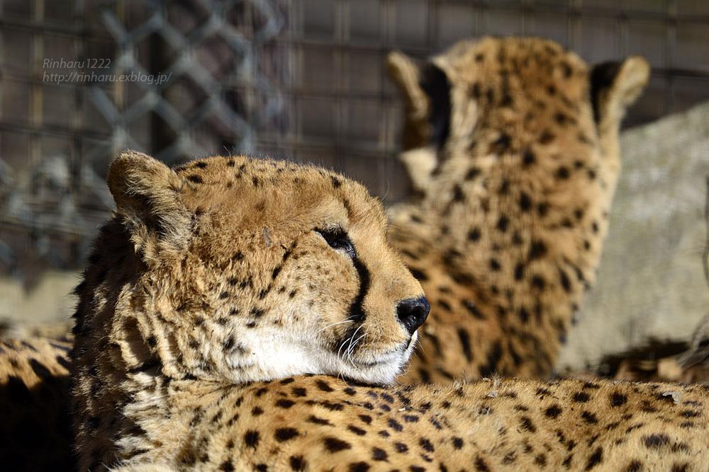 2016.12.30 群馬サファリパーク☆チーター男子部【Cheetah】_f0250322_19375690.jpg