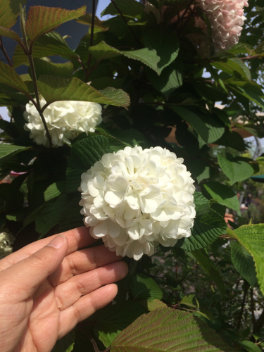 開花 Blooming《私の好きな花選集 Op.46》_e0103327_21591564.jpg