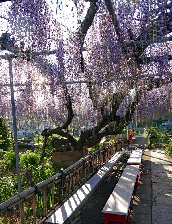 福島市笹木野 「大藤の花」_d0106628_12560074.jpg