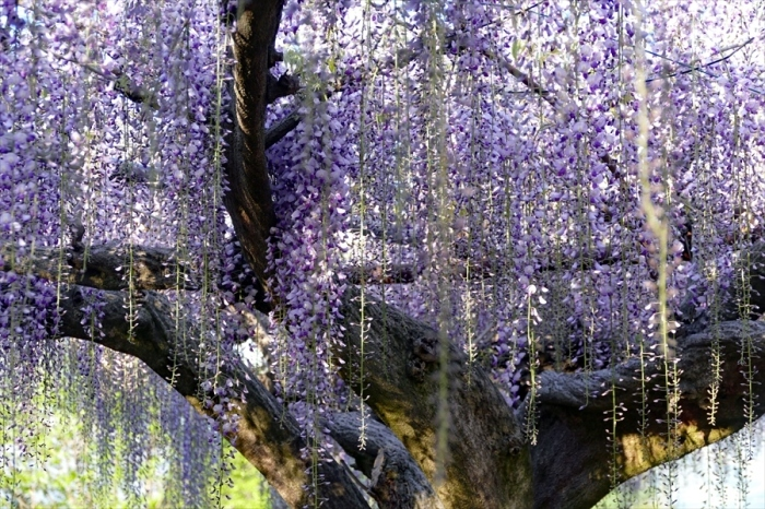 福島市笹木野 「大藤の花」_d0106628_12564553.jpg