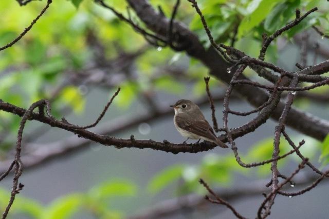 4/29 やはり雨の中の鳥見は楽しい (5/8記)_a0080832_19140787.jpg