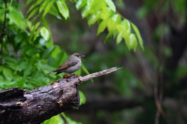 4/29 やはり雨の中の鳥見は楽しい (5/8記)_a0080832_19141356.jpg