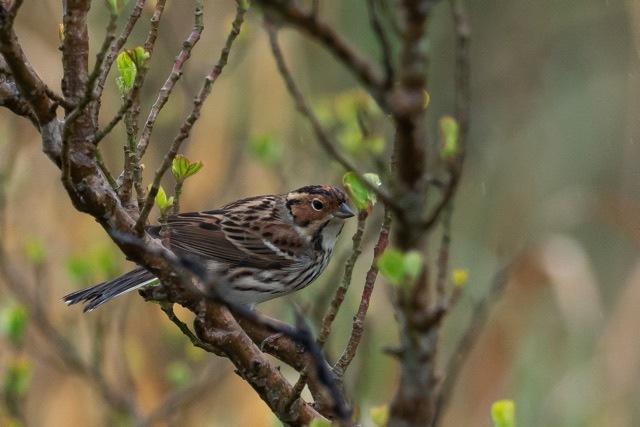 4/29 やはり雨の中の鳥見は楽しい (5/8記)_a0080832_19142450.jpg