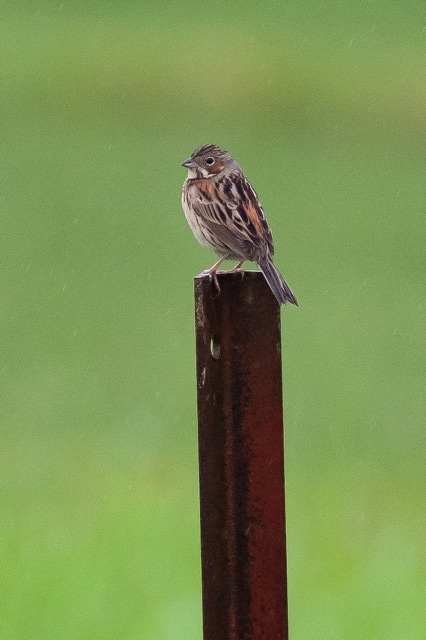 4/29 やはり雨の中の鳥見は楽しい (5/8記)_a0080832_19143155.jpg