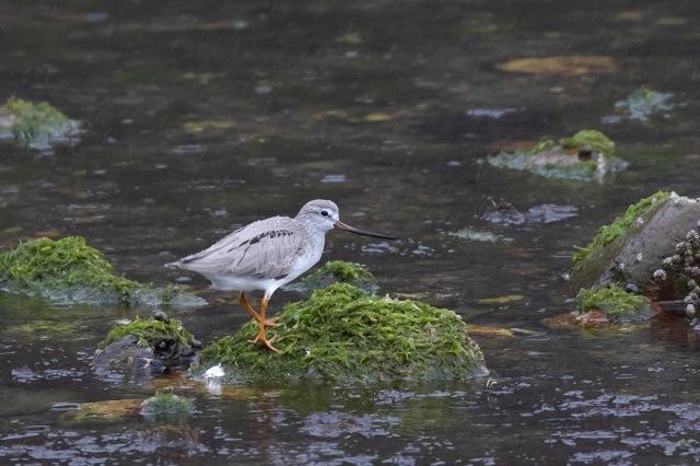 4/29 やはり雨の中の鳥見は楽しい (5/8記)_a0080832_19143684.jpg