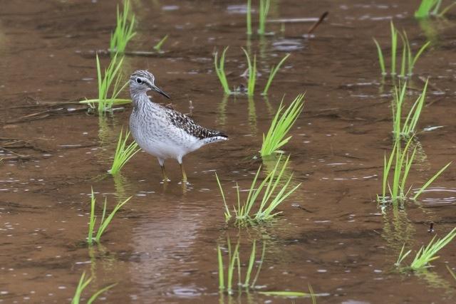 4/29 やはり雨の中の鳥見は楽しい (5/8記)_a0080832_19145423.jpg