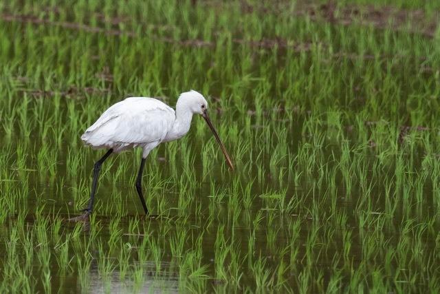4/29 やはり雨の中の鳥見は楽しい (5/8記)_a0080832_19145900.jpg