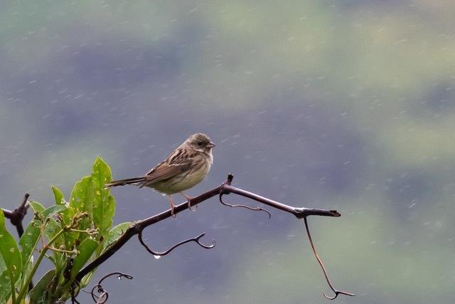 4/29 やはり雨の中の鳥見は楽しい (5/8記)_a0080832_19150707.jpg