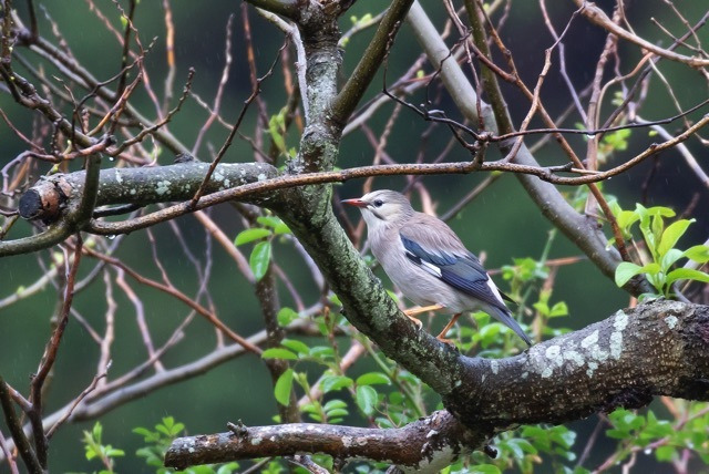 4/29 やはり雨の中の鳥見は楽しい (5/8記)_a0080832_19151348.jpg