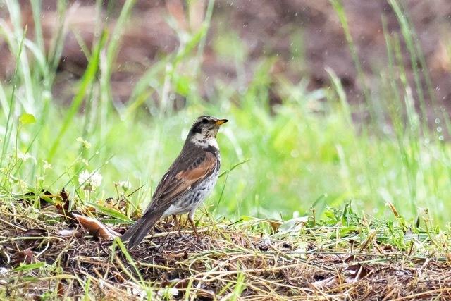 4/29 やはり雨の中の鳥見は楽しい (5/8記)_a0080832_19153623.jpg