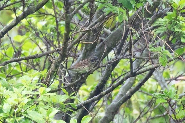4/29 やはり雨の中の鳥見は楽しい (5/8記)_a0080832_19154379.jpg