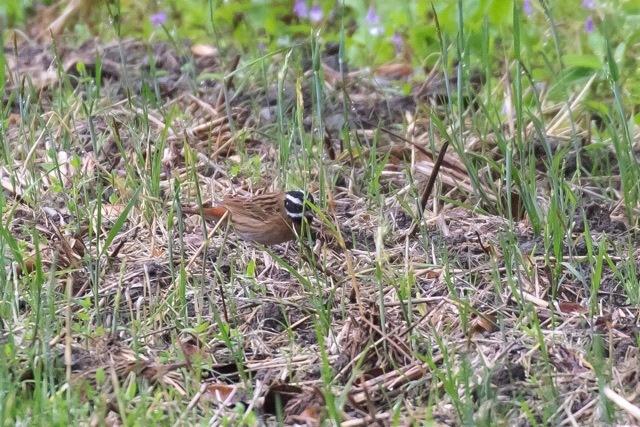 4/29 やはり雨の中の鳥見は楽しい (5/8記)_a0080832_19154803.jpg