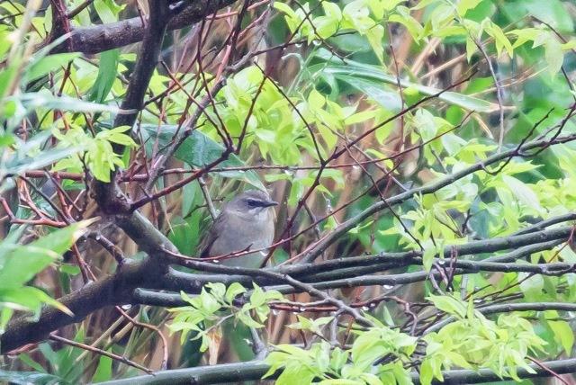 4/29 やはり雨の中の鳥見は楽しい (5/8記)_a0080832_19155501.jpg