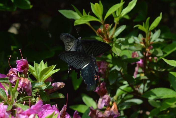 黒系アゲハ達 5月5日_d0254540_18564322.jpg