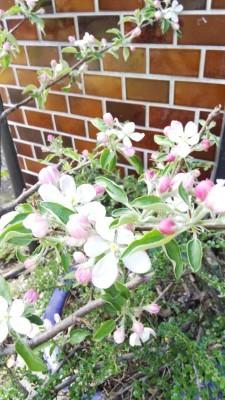 190508 「豊かさのギフト」りんごの花_f0164842_23172662.jpg